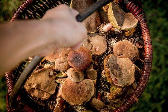 O czym trzeba wiedzieć wybierając się na grzyby